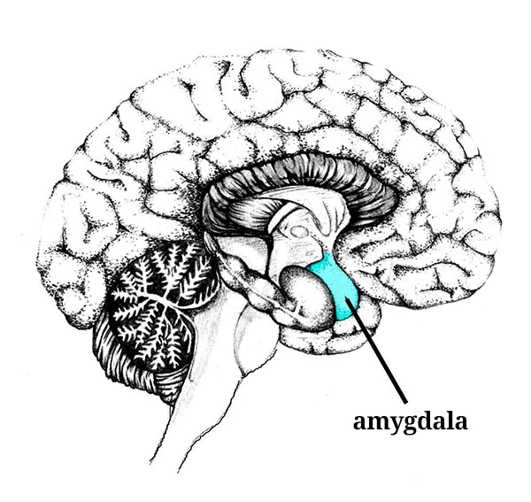How to manage conflict: the amygdala